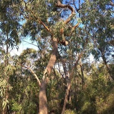 Corymbia eximia