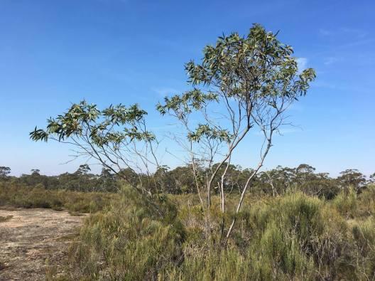 Eucalyptus langleyi