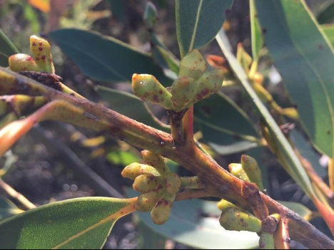 Buds (the flowers develop from these)