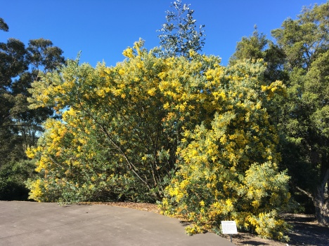 The bright yellow flowers on this Acacia podalyriifolia from Queensland stand out from a mile away