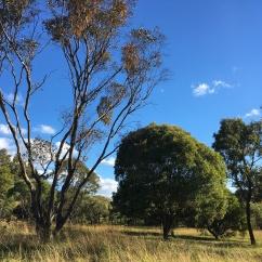 Remnant woodland vegetation