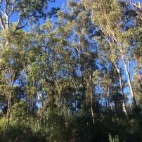 Tall Eucalypt forest