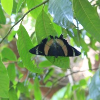 Zodiac moth (Alcides metaurus) perched on a tree in the greenhouse