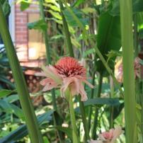 Torch ginger, one of my favourites from the botanic gardens, Etlingera elatior