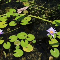 Nymphaea nouchali, an aquatic lily native to South-East Asia