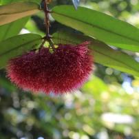 Syzygium wilsonii an Australian native tree from the same family as the Eucalypts