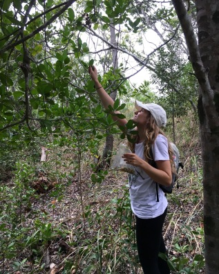 Collecting fruits from a littoral rainforest tree- Acronychia imperforata