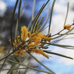 Acacia mariae - one of my target species