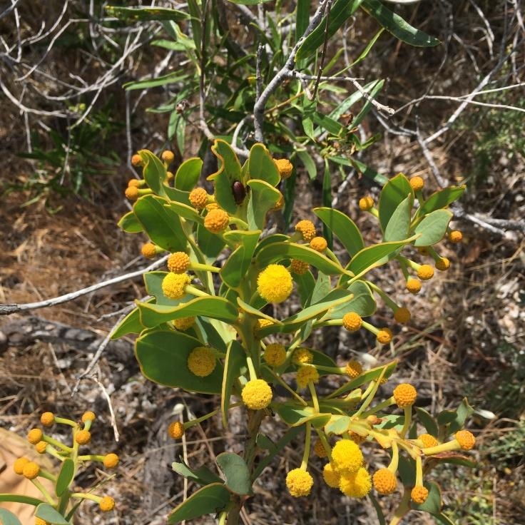 Definitely my favourite target species - Acacia brachybotrya