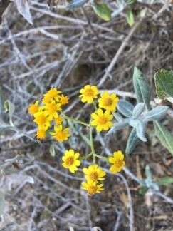 Threatened species Senecio garlandii in The Rock Nature Reserve