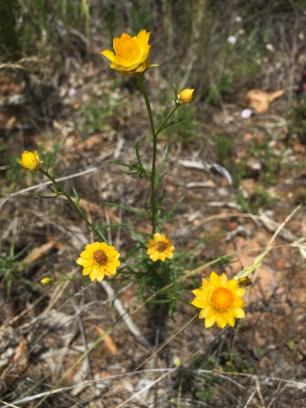 Xerochrysum viscosum- another target species