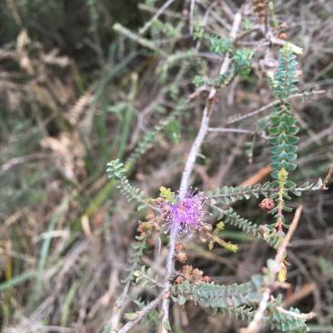 Melaleuca gibbosa