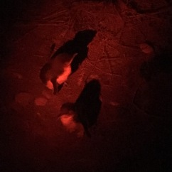 Two penguin chicks